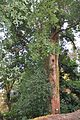 Cinnamomum glanduliferum False Camphor Tree ცრუქაფურის ხე.JPG