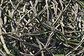 Cissus quadrangularis - Agri-Horticultural Society of India - Alipore - Kolkata 2013-02-10 4599.JPG