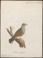 Citrinella hortulana - 1786-1789 - Print - Iconographia Zoologica - Special Collections University of Amsterdam - UBA01 IZ16100235.tif