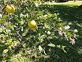 Citronenbaeumchen mit Blueten CIMG3657.JPG