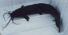 Airbreathing catfish