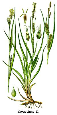 Cleaned-Illustration Carex hirta