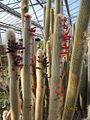 Cleistocactus in flower (4552462048).jpg