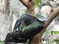 Cleveland Chameleon close up.jpg