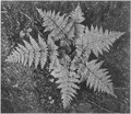 "Close-up of ferns, from directly above, ""In Glacier National Park,"" Montana., 1933 - 1942 - NARA - 519878.tif"