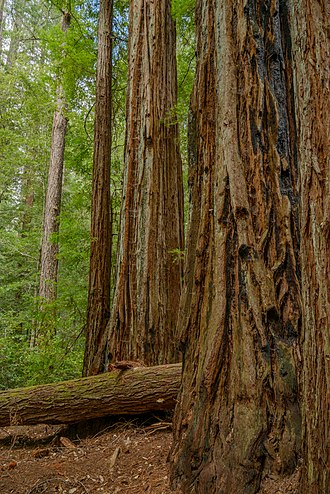 Big Basin Redwoods State Park - Lush coast redwood forest of Big Basin