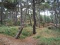 Coastal pine woodland on the dunes - geograph.org.uk - 955263.jpg