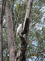 Cockatoos and their tree hollow home (8069419696).jpg