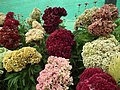 Cockscomb from Lalbagh flower show Aug 2013 8435.JPG