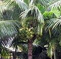 Coconuts at Na ʻAina Kai.jpg