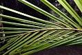 Cocos nucifera 48zz.jpg