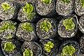 Coffee Plants (Boquete).jpg