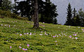 Colchicum sp., Sisdağı 16.jpg