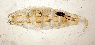 Coleophora - Image: Coleophora lusciniaepennella