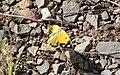 Colias-crocea-20130811-6.jpg