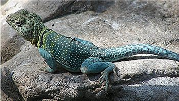 colorful lizard on a rock, looking alertly to camera