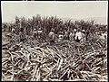 Collectie Nationaal Museum van Wereldculturen TM-60062271 Suikerrietoogst Jamaica J.W. (John) Cleary (Fotograaf).jpg