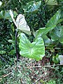 Colocasia esculenta 'Fontanesii' (L.) Schott (AM AK338069-2).jpg