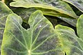 Colocasia esculenta var. illustris 1zz.jpg
