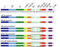 Colour coded Schematic of the Insulin Receptor.png