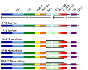 Insulin receptor - Colour-coded schematic of the insulin receptor