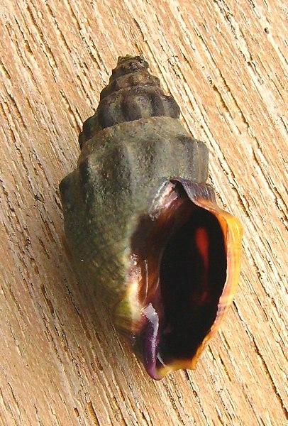 File:Cominella glandiformis (mud whelk) underside.JPG