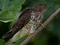 Common Hawk Cuckoo (Cuculus varius) in Hyderabad W2 IMG 8927.jpg