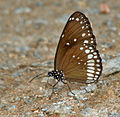 Common Indian Crow (Euploea core) in Talakona, AP W IMG 8281.jpg