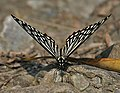 Common Mime (Papilio clytia- dissimilis form) at Jayanti, Duars, West Bengal W Picture 206.jpg
