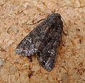 Common Rustic. Mesapamea secalis - Flickr - gailhampshire (1).jpg