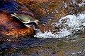 Common Sandpiper (23682128490).jpg