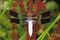 Common Whitetail - Plathemis lydia, Pohick Creek Park, Newington, Virginia - 28426200266.jpg