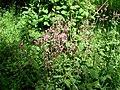 Compagnon rouge (Silene dioica) (2).jpg