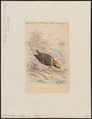 Conopophaga melanops - 1838 - Print - Iconographia Zoologica - Special Collections University of Amsterdam - UBA01 IZ16400345.tif