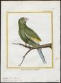 Conurus versicolurus - 1700-1880 - Print - Iconographia Zoologica - Special Collections University of Amsterdam - UBA01 IZ18500191.tif