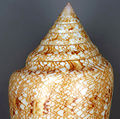 Conus gloriamaris (glory-of-the-seas cone snail) 3 (15529444508).jpg