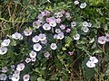 Convolvulus arvensis - Cornwall 2.jpg
