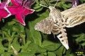 Convolvulus hawk-moth (NH266) (11100215533).jpg