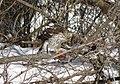 Cooper's hawk feeding on a blue jay 13.jpg