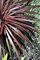Cordyline australis Red Sensation 2zz.jpg