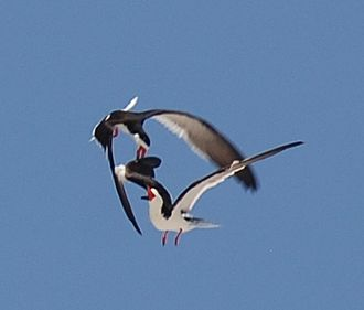 Black skimmer - Aerial fight of 2 skimmers above the nesting grounds at Core Banks, North Carolina
