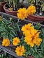 Coreopsis Grandiflora.jpg