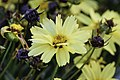 Coreopsis tinctoria cultivar Uptick Cream and Red 17 LR.jpg