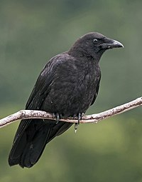 Corvus caurinus (profile).jpg