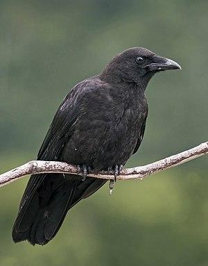 Northwestern crow - Image: Corvus caurinus (profile)
