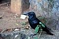 Corvus culminatus Sri Lanka 1.jpg