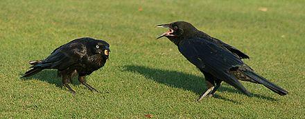 Un giovane corvo (a destra) chiede di essere nutrito col bruco che la madre (a sinistra) ha appena catturato.