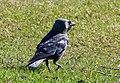 Corvus monedula Oulu Finland 2016-05-09.jpg