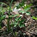 Corydalis intermedia 4.jpg