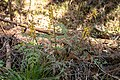 Corydalis pallida var. tenuis 08.jpg